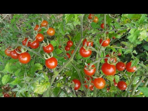 Посев безрассадных томатов и брокколи в открытый грунт.