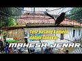 Murai Batu Mahesa Jenar Live Tarung Gantangan Jc Enterprise  Mp3 - Mp4 Download