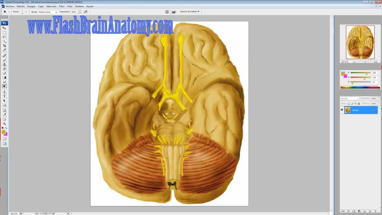 Brain Anatomy and Brainstem With Cranial Nerves - YouTube
