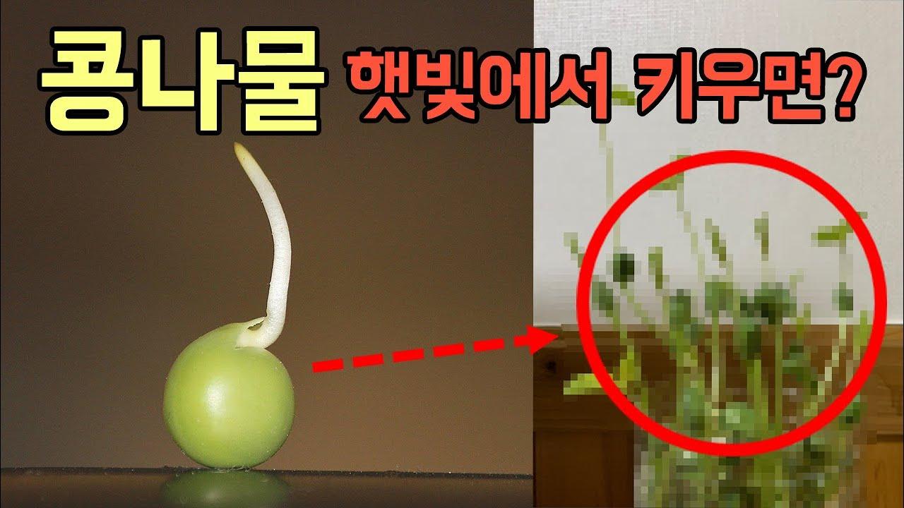 햇빛을 받은 콩나물의 3가지 놀라운 변화!!