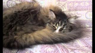 Сибирская кошка Муля