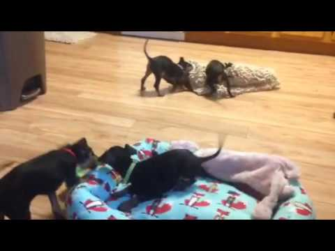 Toy Manchester pups play