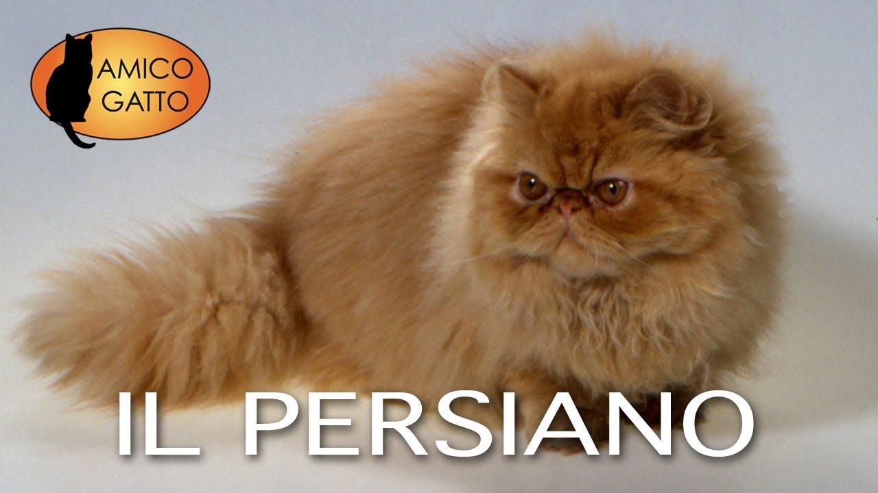 Persiano E Lexotic Shorthair Trailer Documentario Youtube