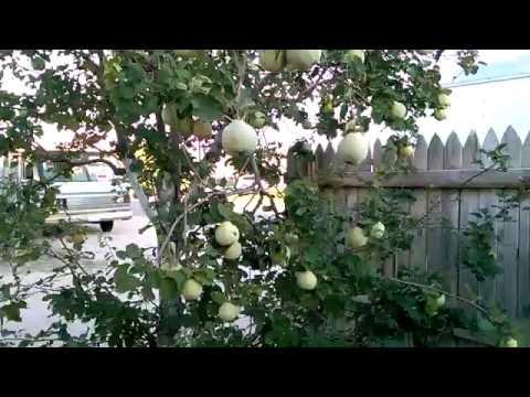 Arbol de membrillo quince tree youtube - Arbol de membrillo ...