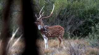 Hunting for Axis, Blackbuck and Aoudad - 1422