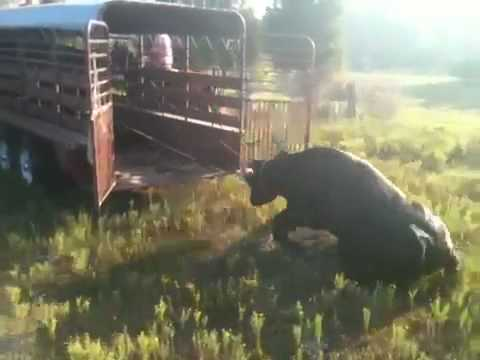 Cowboys Catching Wild Cows Youtube