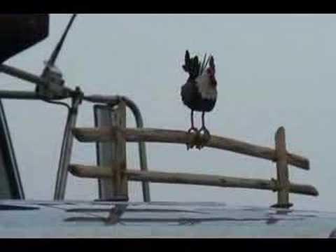 Prairie Rooster