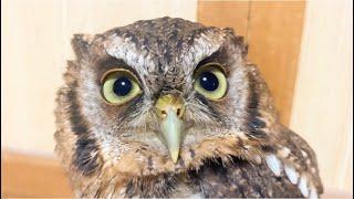 かわいいフクロウ Cute owl.
