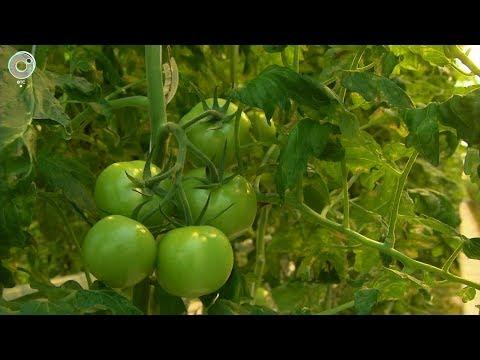 Новосибирская область полностью обеспечивает себя томатами и огурцами