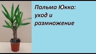 Пальма Юкка: уход и размножение