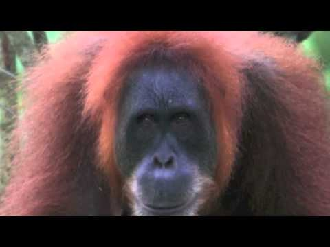 The Sumatran Orangutan: Ending Palm Oil Deforestation