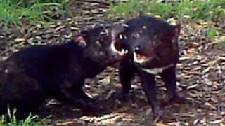 Screaming Tasmanian Devils
