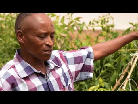 EcofriendlyNet2 – Smallholder farmers in Kirinyaga County mainly produce tomatoes on open fields