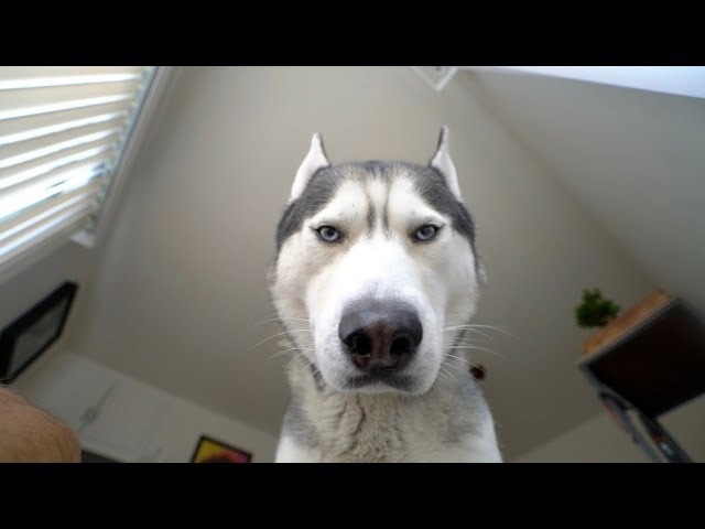What Waking Up To My Husky Looks Like!