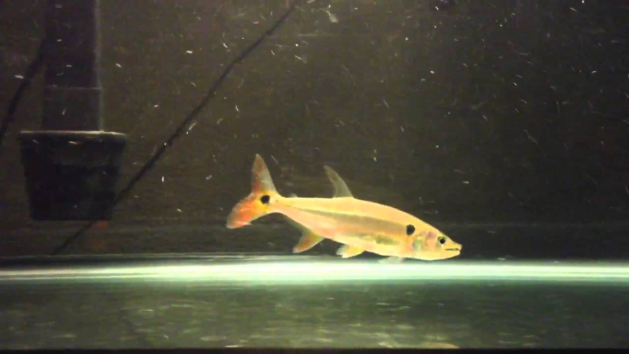 Red Tail Barracuda Fish feeding - YouTube