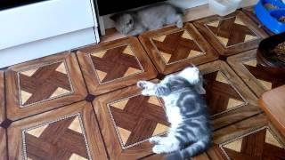 Котята смешные, мяукают, почти поют, играют