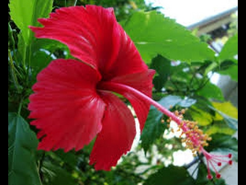 295 Blooming Hibiscus Shoe Flower In My Small Garden 14 217