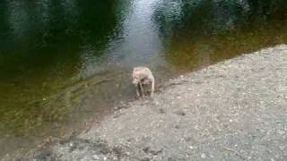 Gypsy the Weimaraner on river bank.Swansea Wales mp4