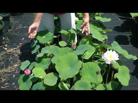 Laura introduces Lotus Elite Red : Nelumbo nucifera - growing lotus