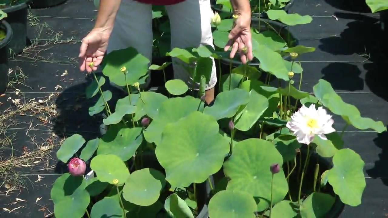 How to plant a lotus youtube - Laura Introduces Lotus Elite Red Nelumbo Nucifera Growing Lotus Youtube