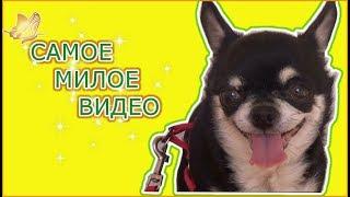 ВЛОГ Как моя собачка Соня встречает меня по утрам Самое милое видео СМОТРЕТЬ СО ЗВУКОМ Chihuahua