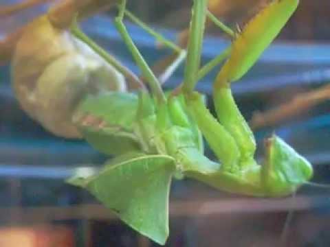 pregnant praying mantis baby