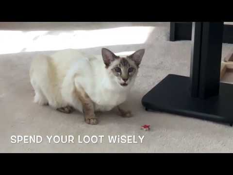 Balinese Cat Darci steals a star