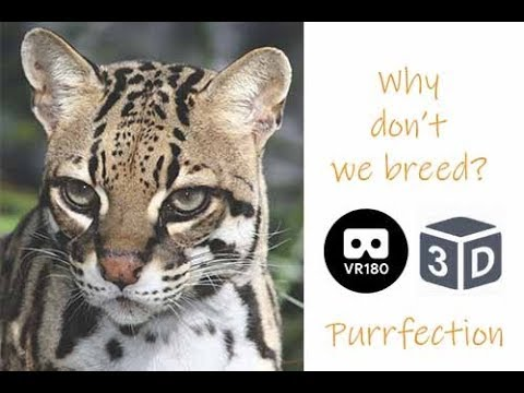 3D PurrFection Ocelot Why We Don't Breed
