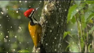 Kicau Burung Pelatuk Mantap untuk Masteran, Raja Burung..!!