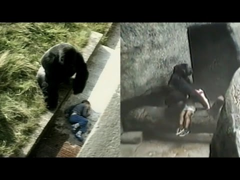 Kids Have Fallen Into Gorilla Enclosures In The Past But With Different Endings