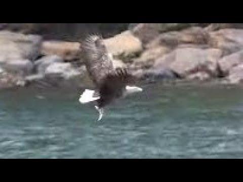 Download WHITE-TAILED EAGLES - Sea Eagle FISHING Hunt - Branching EAGLETS - Haliaeetus albicilla