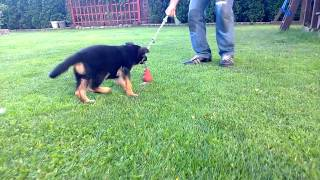 First Week Of Agression Training At Home For Adelle, Our Gsd :)