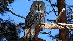 Owl's life ,Lapinpöllö 25 2 2020