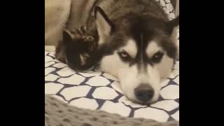 コワモテだけど優しいハスキー犬と無邪気な子猫のほのぼの風景