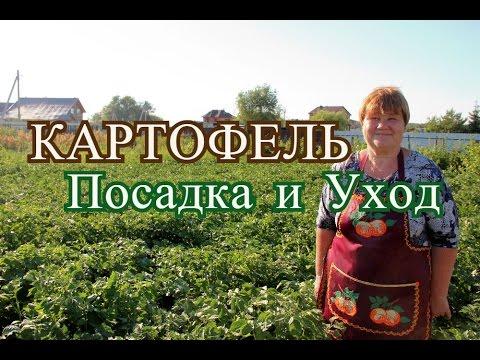 видео: Выращивание картофеля.(27.06.16 г.)