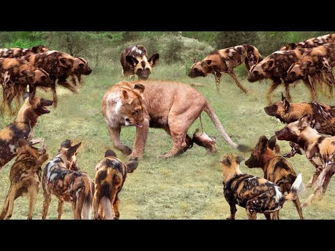 True Battle Of Wild Dogs And Lions | Cheetah vs Impala, Lion