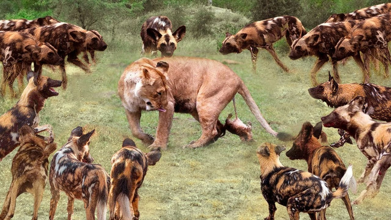 True Battle Of Wild Dogs And Lions | Cheetah vs Impala, Lion, Discovery Wild Animal Fights