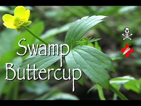 Swamp Buttercup: Poison & Medicinal