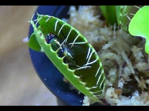 Venus Fly Trap Care Youtube