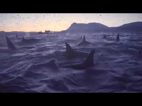 Branco di circa 300 orche circonda imbarcazione
