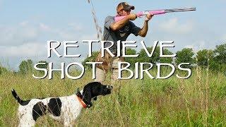 Retrieving Shot Birds - Gun Dog Training