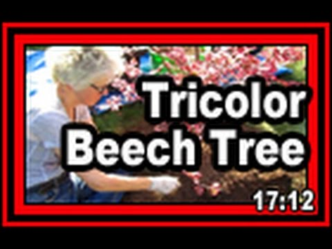 Tricolor Beech Tree Wisconsin Garden Video Blog 713 Youtube