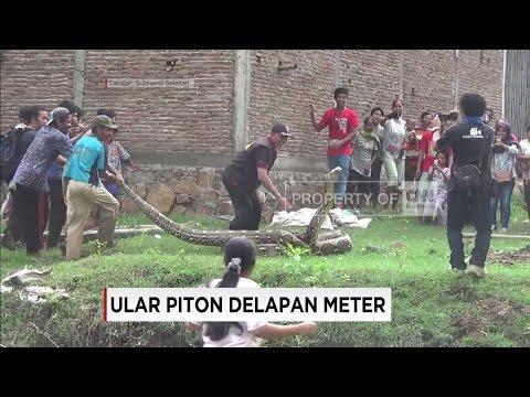 Ular Piton 8 Meter Mengamuk Saat Ditangkap Warga