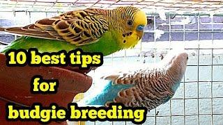 Budgie breeding - best 10 tips( in Hindi/Urdu and English)