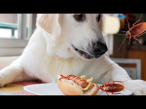 Cockroach Steals Sausage From Dog - Puppy Bailey & Hot-Dog
