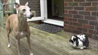 Lola Whippet and bunny friend