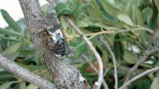 Скачать Cicada Singing