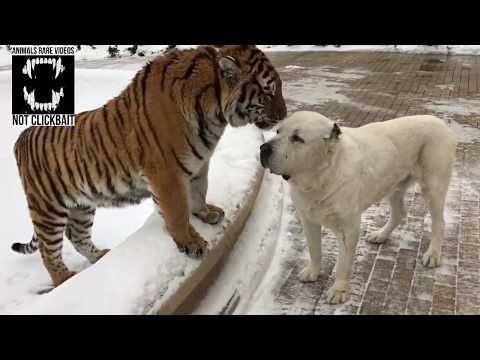 Tiger and Alabai dog (Compilation #1)
