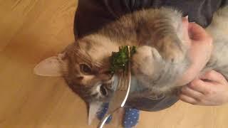 Кошка ест брокколи
