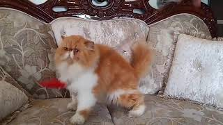 simbah always in hustle,The Hustler  |FELINE LIBERTY PERSIAN | Top quality persian cats 9421667331